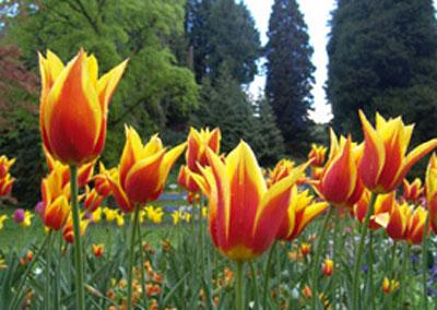 Ostern-Tulpen